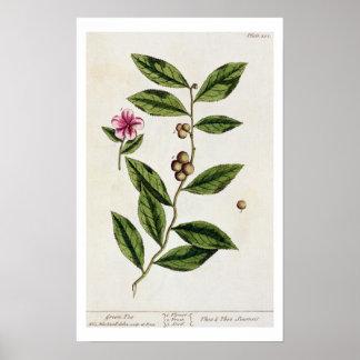 """Le thé vert, plaquent 351 """"d'un de fines herbes cu posters"""