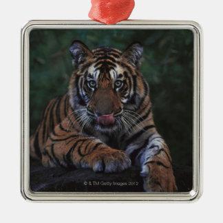 Le tigre CUB repose sur la roche Ornement Carré Argenté