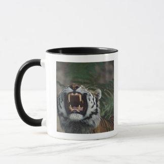 Le tigre sibérien (Panthera Tigre) découvre des Tasses