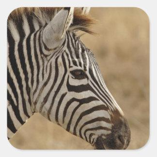 Le zèbre de Burchell, burchellii d'Equus, Sticker Carré