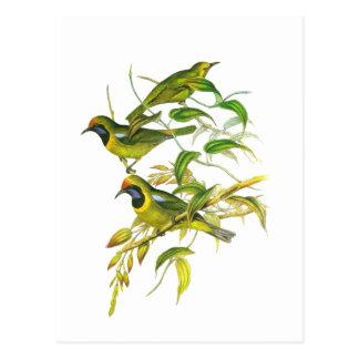 Leafbird D'or-affronté Cartes Postales