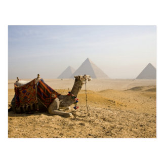 L'Egypte, le Caire. Un chameau solitaire regarde Carte Postale