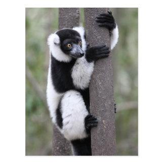 Lémur noir et blanc de Ruffed sur l'arbre Cartes Postales