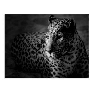 léopard blanc noir carte postale