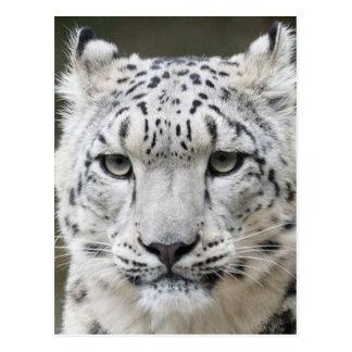 Léopard de neige carte postale