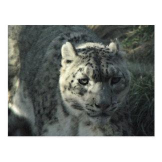 Léopard de neige cartes postales