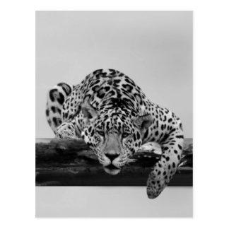 Léopard en noir et blanc carte postale