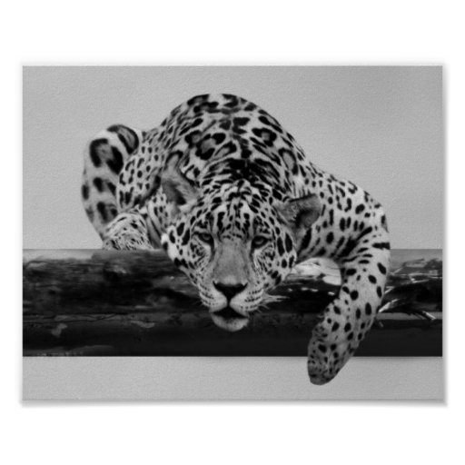 Léopard en noir et blanc affiches