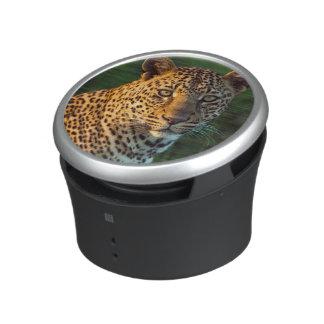 Léopard masculin (Panthera Pardus) CUB adulte Haut-parleur