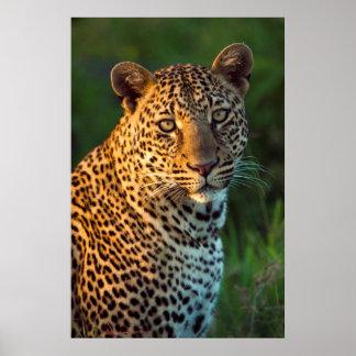 Léopard masculin (Panthera Pardus) CUB adulte Affiche