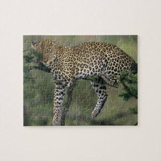 Léopard, (pardus de Panthera), le Kenya, masai Mar Puzzle