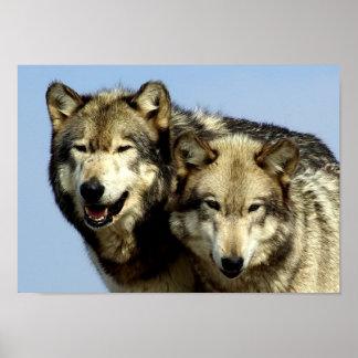 Les alpha couples de loup poster