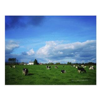 Les bétail de frison du Holstein s'approchent de Carte Postale