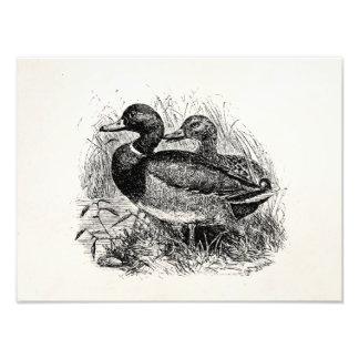 Les canards sauvages vintages de Mallard ont Impression Photographique