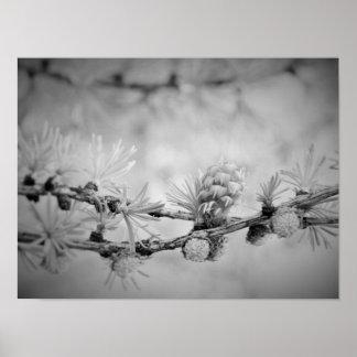 les CK et la fleur blanche de mélèze Posters