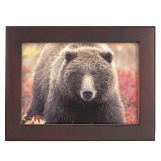 Les Etats-Unis, Alaska, Denali NP, ours gris Boîtes À Souvenirs