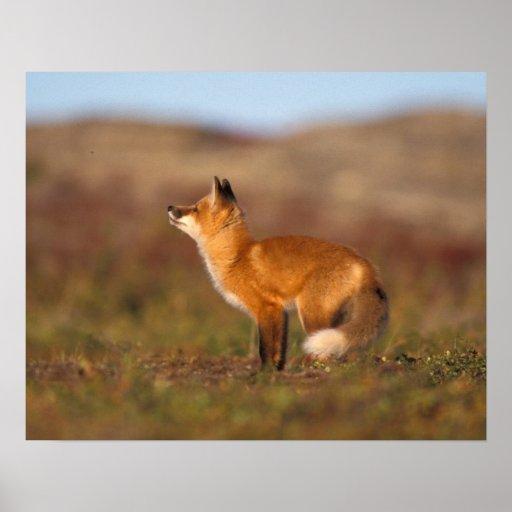 Les Etats-Unis, Alaska, renard rouge, couleurs de  Poster