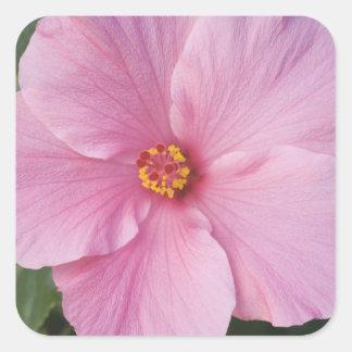 Les Etats-Unis, la Floride, Sanibel, rose de Sticker Carré