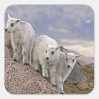 Les Etats-Unis, le Colorado, Mt. Evans. Chèvre de Sticker Carré