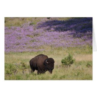 Les Etats-Unis, le Dakota du Sud, bison américain Carte De Vœux