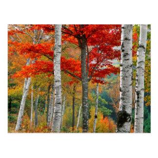 Les Etats-Unis, Maine, lac Wyman. Forêt de bouleau Carte Postale