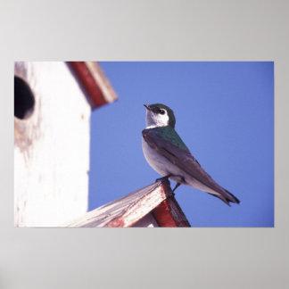 Les Etats-Unis Orégon Hirondelle Violet-Verte Ta Poster