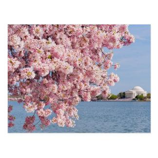 Les Etats-Unis, Washington DC, cerisier Carte Postale