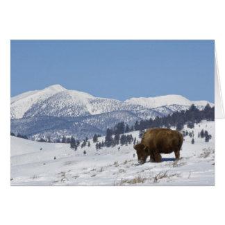 Les Etats-Unis, WY, Yellowstone NP, bison de bison Carte De Vœux