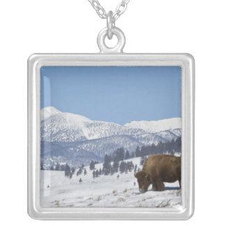 Les Etats-Unis, WY, Yellowstone NP, bison de bison Collier