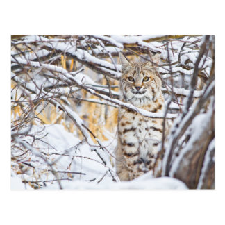 Les Etats-Unis, Wyoming, chat sauvage se reposant Carte Postale