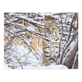 Les Etats-Unis, Wyoming, chat sauvage se reposant Cartes Postales