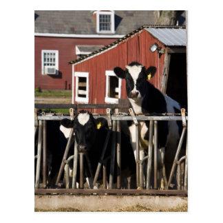 Les Holsteins à la ferme marécageuse de pré dans Carte Postale