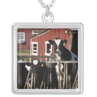 Les Holsteins à la ferme marécageuse de pré dans Collier