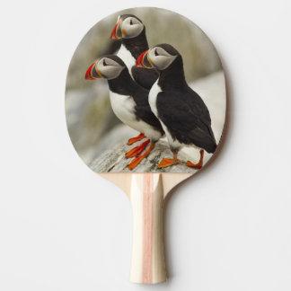 Les macareux atlantiques sur Machias scellent Raquette Tennis De Table