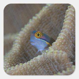 Les poissons de Blenny que le Blenniidae) le Sticker Carré