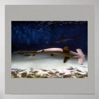 Les poissons de requin nagent des destins gris posters