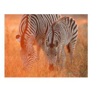 Les zèbres de Burchell, burchelli d'Equus frôlant Carte Postale