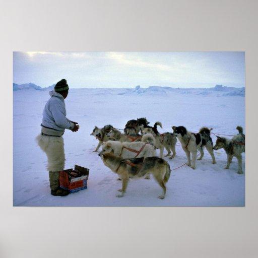 L'Esquimau polaire alimente des chiens Poster