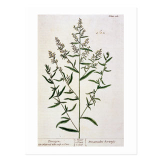 "L'estragon, plaquent 116 ""d'un de fines herbes carte postale"