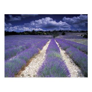 L'Europe, France, Provence. Champs de Lavander Cartes Postales