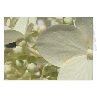L'hortensia blanc de Lacecap fleurit la carte