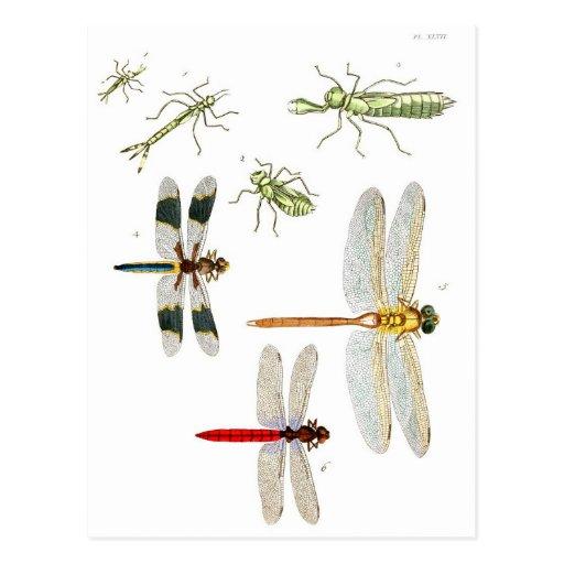 libellule carte postale