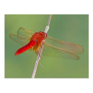 Libellule - Darter Rouge-veiné Carte Postale