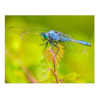 Libellule - Dasher bleu Cartes Postales