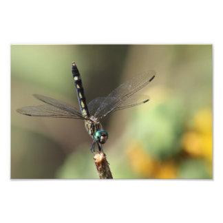 Libellule de Dasher de buisson épineux, tournesols Impression Photo