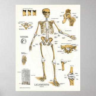 Ligaments et affiche d'anatomie de joints posters
