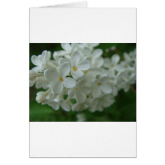 Lilas blanc cartes