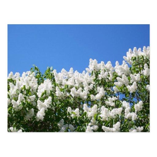 Lilas blancs 2 carte postale
