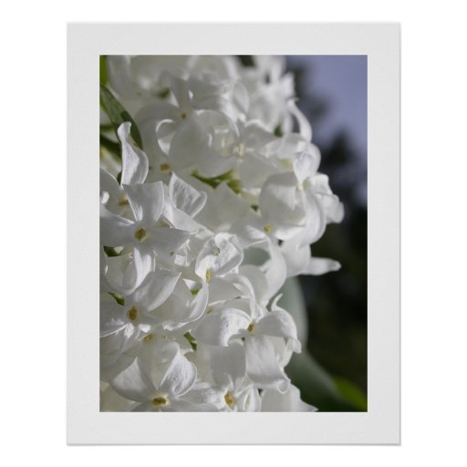 Lilas blancs affiches