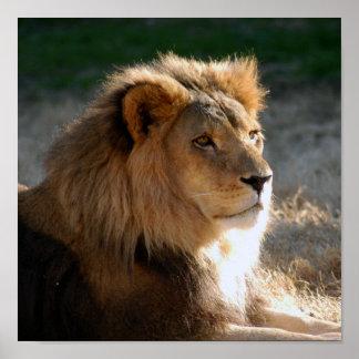 Lion-6775e11x11 africain poster